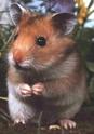 Fiche sur les hamsters Hamste11