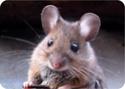 Fiche sur les souris Souris10