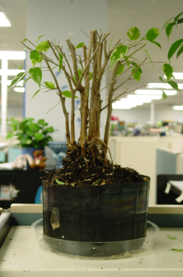 Ugly Office Ficus Experiment #1 Dsc06513