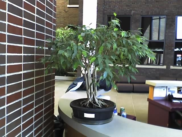 Ugly Office Ficus Experiment #1 New_im10