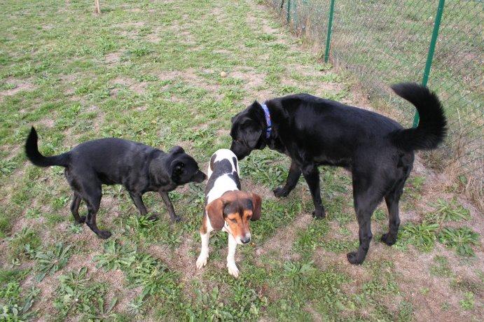 BEN, beagle mâle, 3 ans (85) Img_1528