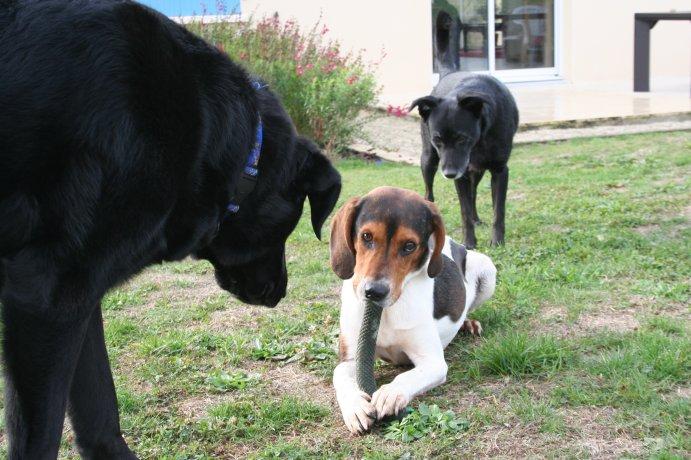 BEN, beagle mâle, 3 ans (85) Img_1529