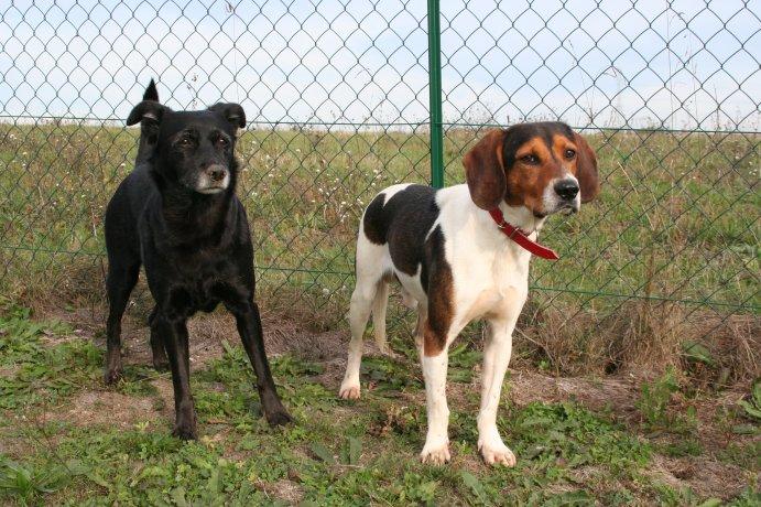 BEN, beagle mâle, 3 ans (85) Img_1530