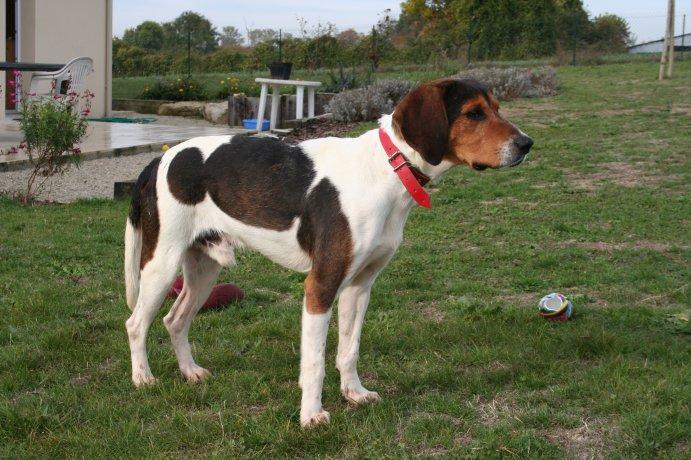 BEN, beagle mâle, 3 ans (85) Img_1531