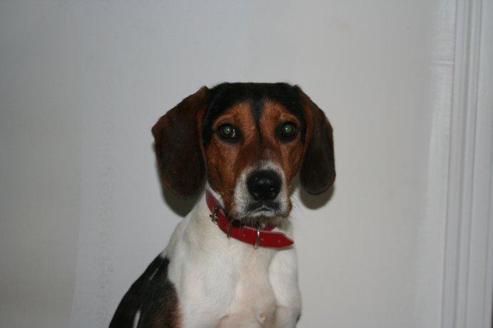 BEN, beagle mâle, 3 ans (85) Img_1610