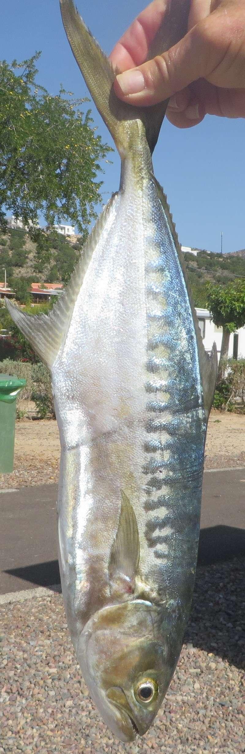 [Maroc/Pêche] Quel est ce poisson ? Img_1010