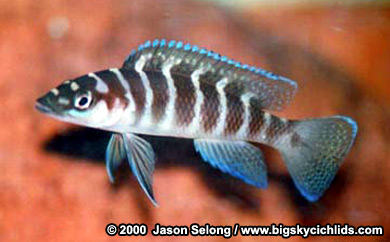 August Fish Of The Month     - Neolamprologus cylindricus Ncycli11