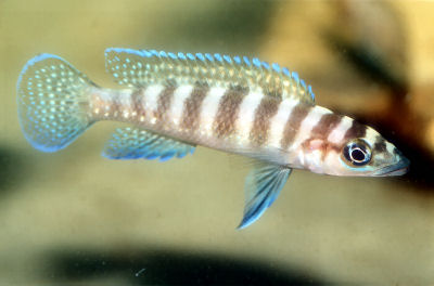 August Fish Of The Month     - Neolamprologus cylindricus Neolam12