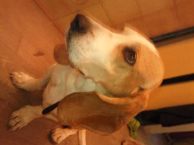 CHARLOTTE, croisée beagle/basset hound femelle, 3/4 ans (13) Photo010
