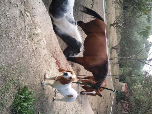 CHARLOTTE, croisée beagle/basset hound femelle, 3/4 ans (13) Photo011
