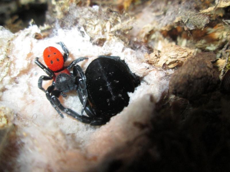 [Araignée]Eresus walckenaeri Img_6913