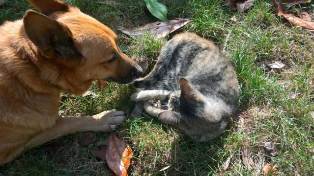 Orphée, petite tigrée qui joue avec la queue du grand chien...5 mois Img-2021