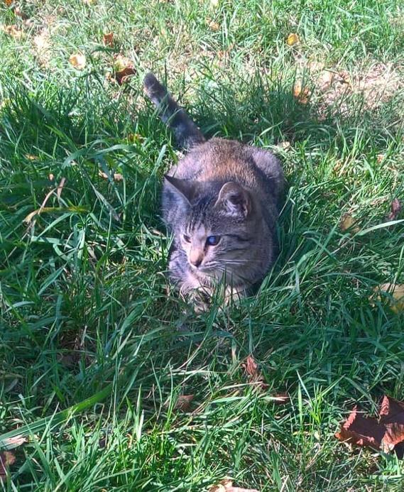 Orphée, petite tigrée qui joue avec la queue du grand chien...5 mois Img-2030