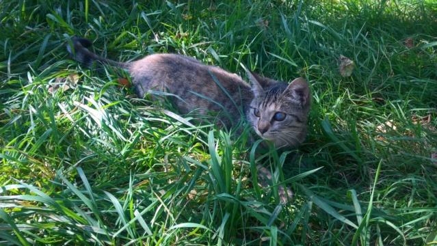 Orphée, petite tigrée qui joue avec la queue du grand chien...5 mois Img-2031