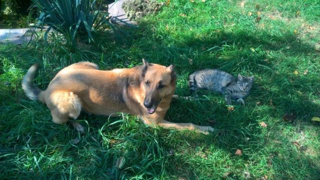 Orphée, petite tigrée qui joue avec la queue du grand chien...5 mois Img-2032