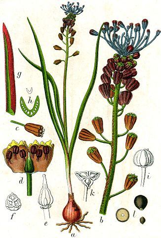 Leopoldia comosa (= Muscari comosum) - ail à toupet 326px-10