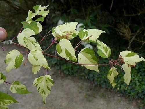 Acer crataegifolium 'Veitchii' - érable à feuilles d'aubépine, forme panachée  Acer_c10