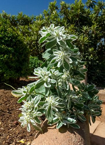 Euphorbia marginata - euphorbe panachée Euphor10