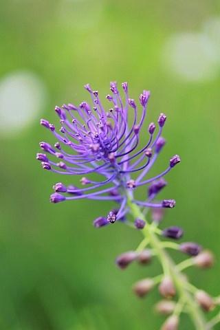 Leopoldia comosa (= Muscari comosum) - ail à toupet Muscar10