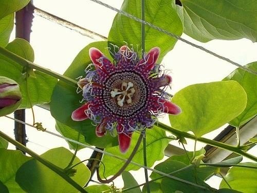 Passiflora decaisneana x caerulea - 'Marijke' Passif10