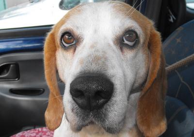 ENZO, beagle mâle, 7 ans (16) Dscf1319