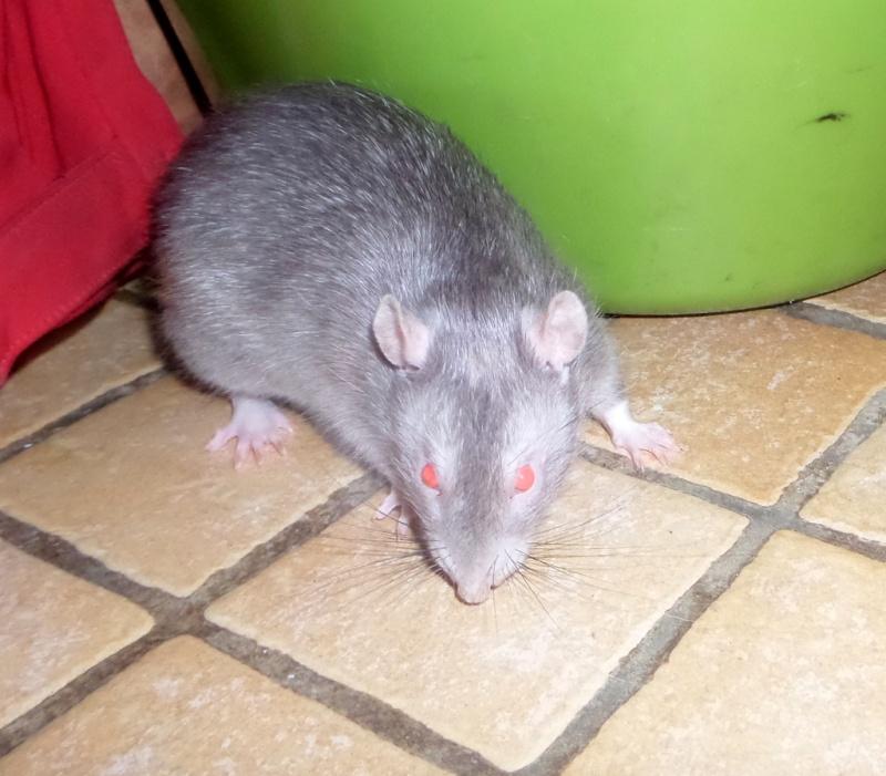 Poids de mes rats Sam_4323