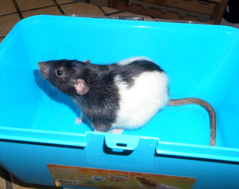 Poids de mes rats Sam_4324