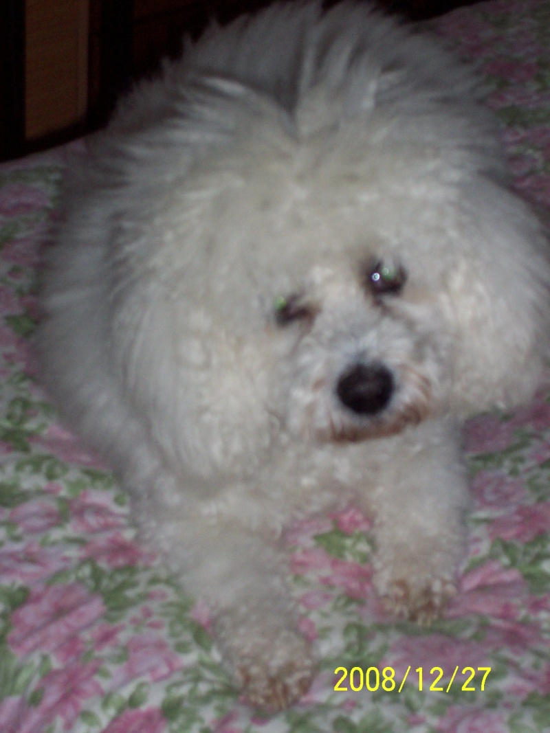 """mon chien Boby un """"Bichon"""" Famill10"""