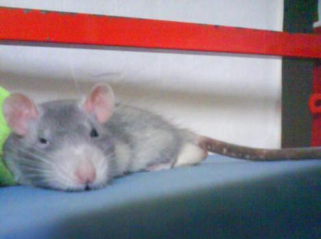 Mes ratous et ratounes Frippp11