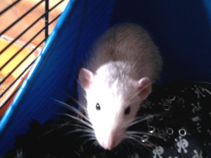 Mes ratous et ratounes Photo010