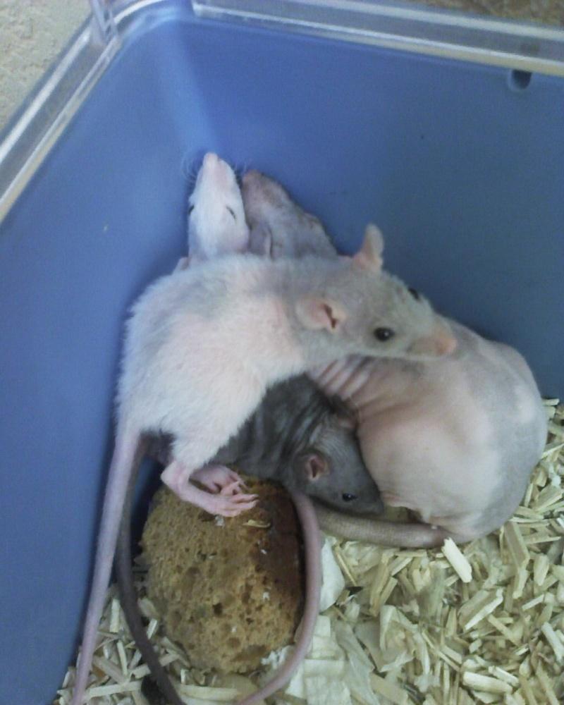 Mes ratous et ratounes Photo_10