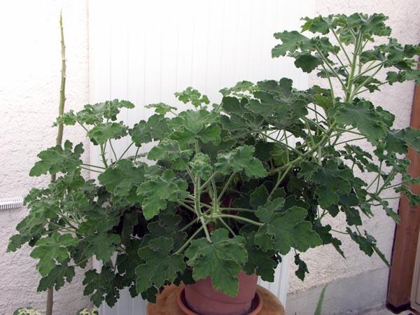 Pelargonium tomentosum Pict0310