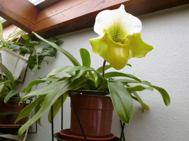 Paphiopedilum Canary P1020912