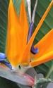 Floraison clivia,  Strelizia , impatiens  20160110