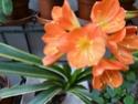 Floraison clivia,  Strelizia , impatiens  P1020910