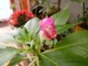 Floraison clivia,  Strelizia , impatiens  P1020911
