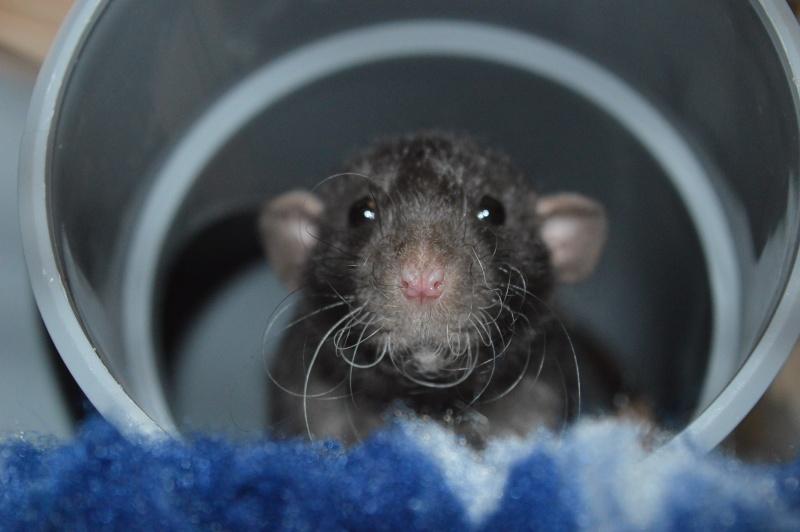 De retour dans le monde du rat Dsc_0020