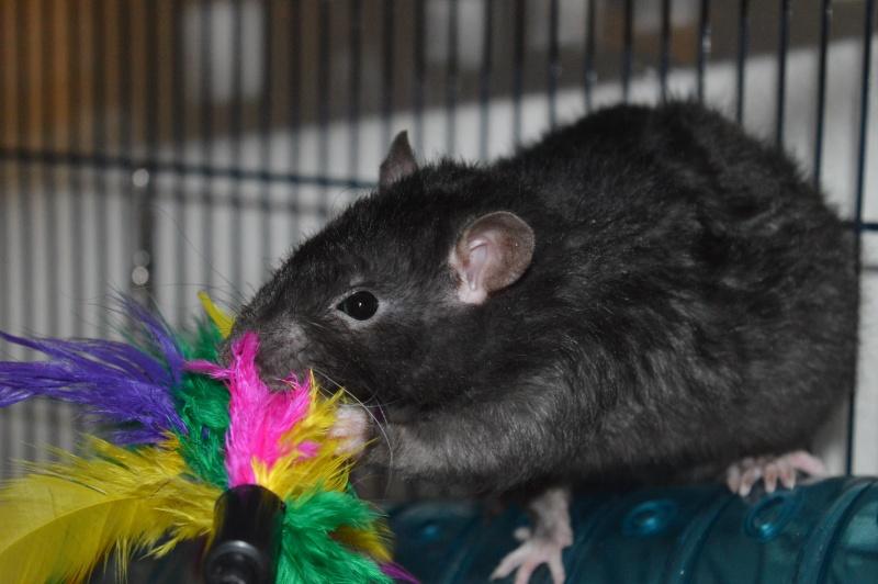 De retour dans le monde du rat Dsc_0021