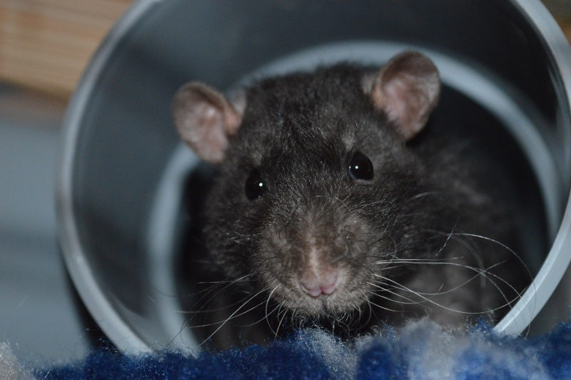 De retour dans le monde du rat Dsc_0022
