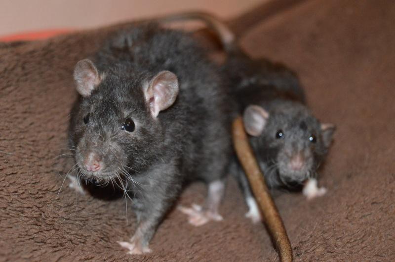 De retour dans le monde du rat Dsc_0023