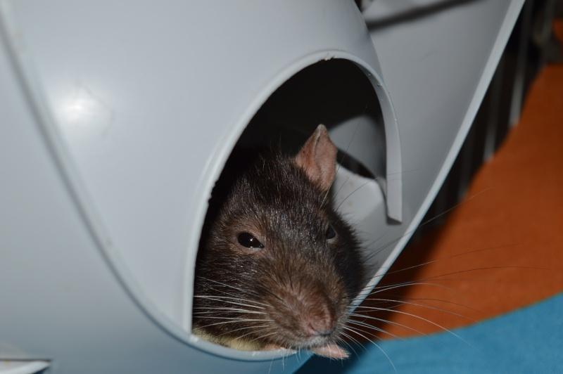 De retour dans le monde du rat Dsc_0110