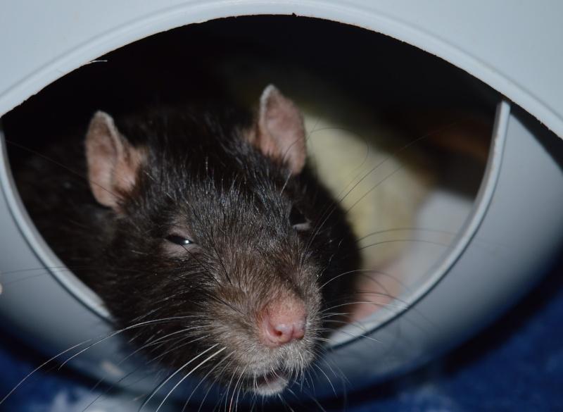 De retour dans le monde du rat Dsc_0111