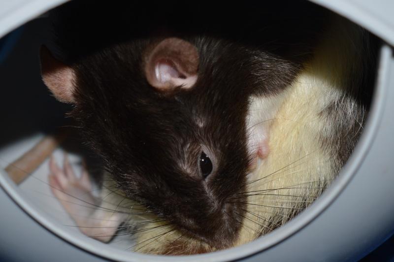 De retour dans le monde du rat Dsc_0112