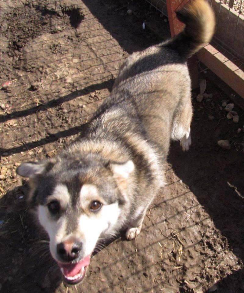 Leeloo, type Husky en Roumanie  10603710
