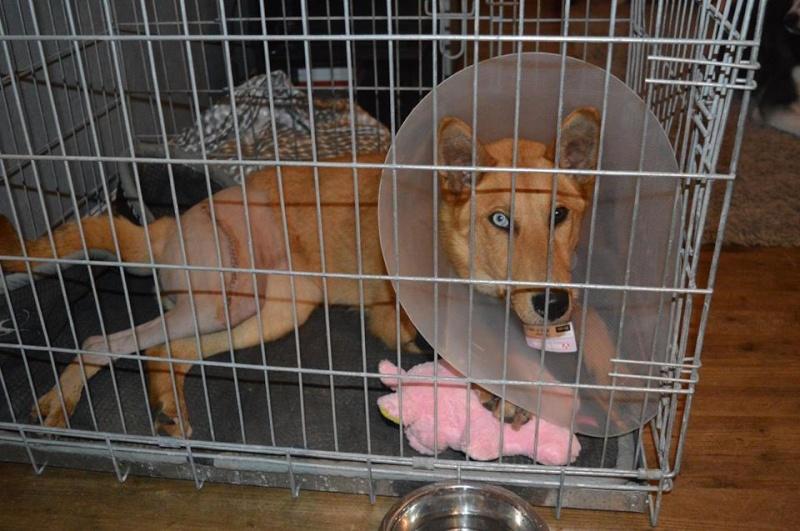 Loria, croisée Husky 1 an, REFU79 12115610