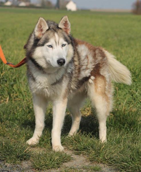 Nasko, Husky poil long REFU45 Img_4513