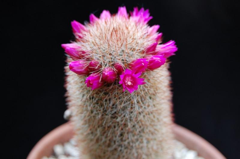 Mammillaria meyranii 2579-211