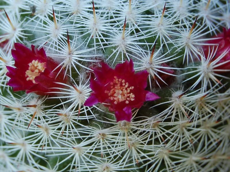 Mammillaria monticola 3233-212