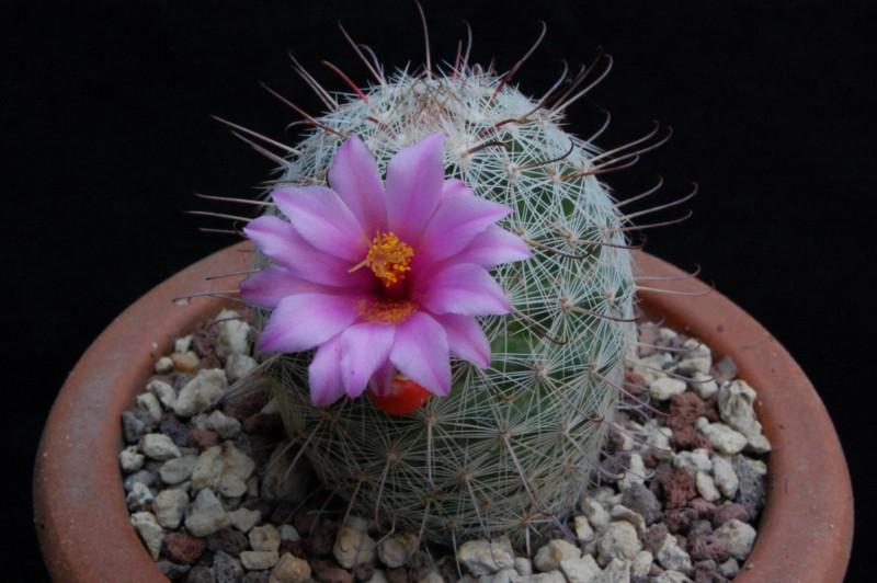 Mammillaria microcarpa 6422-211