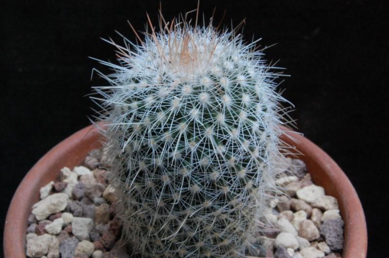 Mammillaria meyranii 7310-210